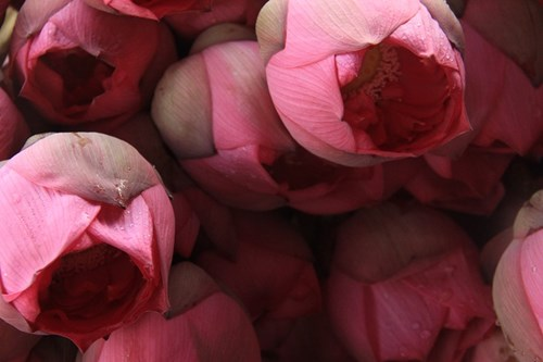 Trà cổ Hà Nội 7 triệu đồng/kg ướp từ 1200 bông hoa sen - 9