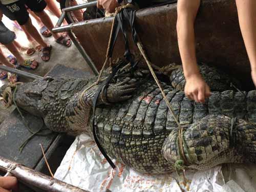 """Cận cảnh cá sấu """"khủng"""" bắt được ở hồ câu nổi tiếng Hà Nội - 3"""