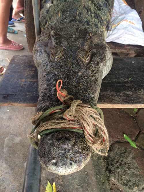 """Cận cảnh cá sấu """"khủng"""" bắt được ở hồ câu nổi tiếng Hà Nội - 5"""