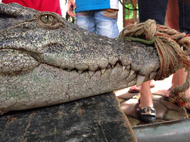 """Cận cảnh cá sấu """"khủng"""" bắt được ở hồ câu nổi tiếng Hà Nội - 6"""