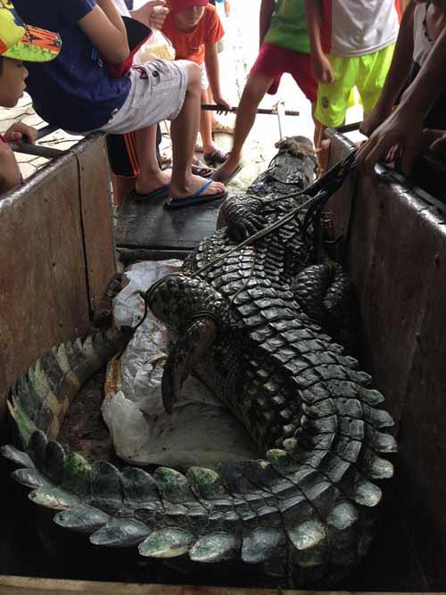 """Cận cảnh cá sấu """"khủng"""" bắt được ở hồ câu nổi tiếng Hà Nội - 4"""
