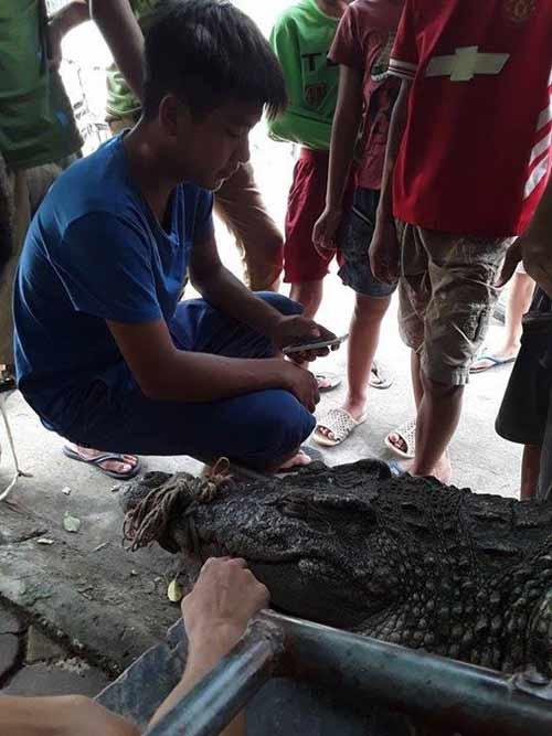 """Cận cảnh cá sấu """"khủng"""" bắt được ở hồ câu nổi tiếng Hà Nội - 8"""