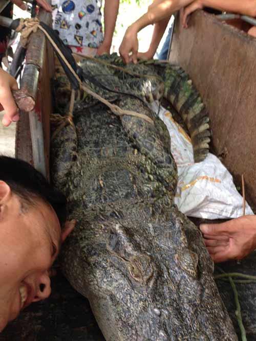 """Cận cảnh cá sấu """"khủng"""" bắt được ở hồ câu nổi tiếng Hà Nội - 9"""