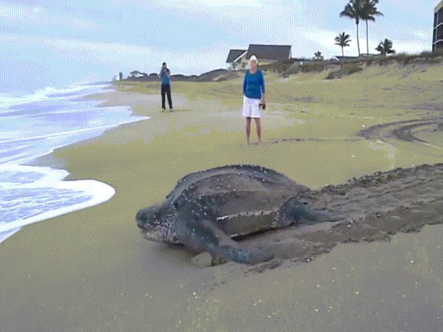 """""""Choáng váng"""" vì thấy con rùa to khủng khiếp bò lên bờ"""