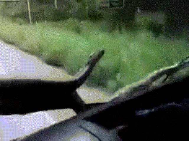 Đang lái xe bỗng thấy trăn anacoda khổng lồ ngay trước mũi