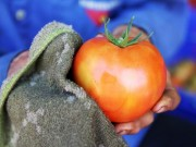 Thị trường - Tiêu dùng - Vườn cà chua Nhật Bản siêu khủng ở Lâm Đồng