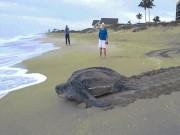 """Thế giới - """"Choáng váng"""" vì thấy con rùa to khủng khiếp bò lên bờ"""