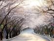 Chào tháng 4 nhẹ nhàng với những lễ hội hoa anh đào lớn nhất ở Hàn Quốc