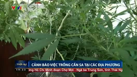 Cảnh báo trồng cần sa xen canh với rau ở các địa phương