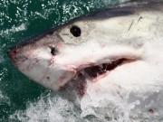 Thế giới - Dân Mỹ đổ ra biển xem cá mập trắng vùng vẫy mắc cạn