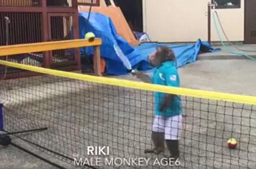 Lên lưới như Federer, chú khỉ khiến fan tennis choáng - 2