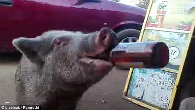 Lợn khát nước nốc cạn 3 chai bia trong chớp mắt - 1