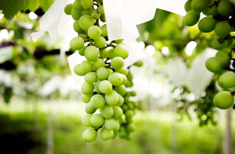 """Ưa trái cây Nhật """"sang chảnh"""": Người Việt mạnh tay chi tiền triệu - 14"""