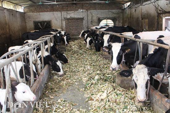 Trai Kinh Bắc nuôi 20 bò sữa vừa làm vừa chơi lãi 2 triệu đồng/ngày - 5