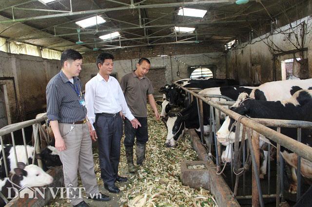 Trai Kinh Bắc nuôi 20 bò sữa vừa làm vừa chơi lãi 2 triệu đồng/ngày - 7