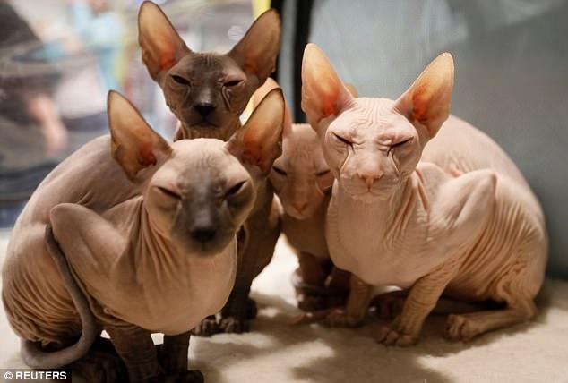 Mèo không lông, nhăn nheo như tấm giẻ giá 2.000 USD - 1