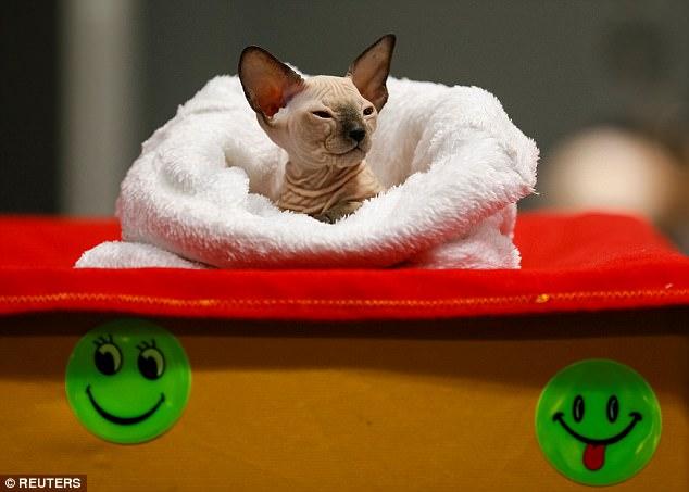Mèo không lông, nhăn nheo như tấm giẻ giá 2.000 USD - 4
