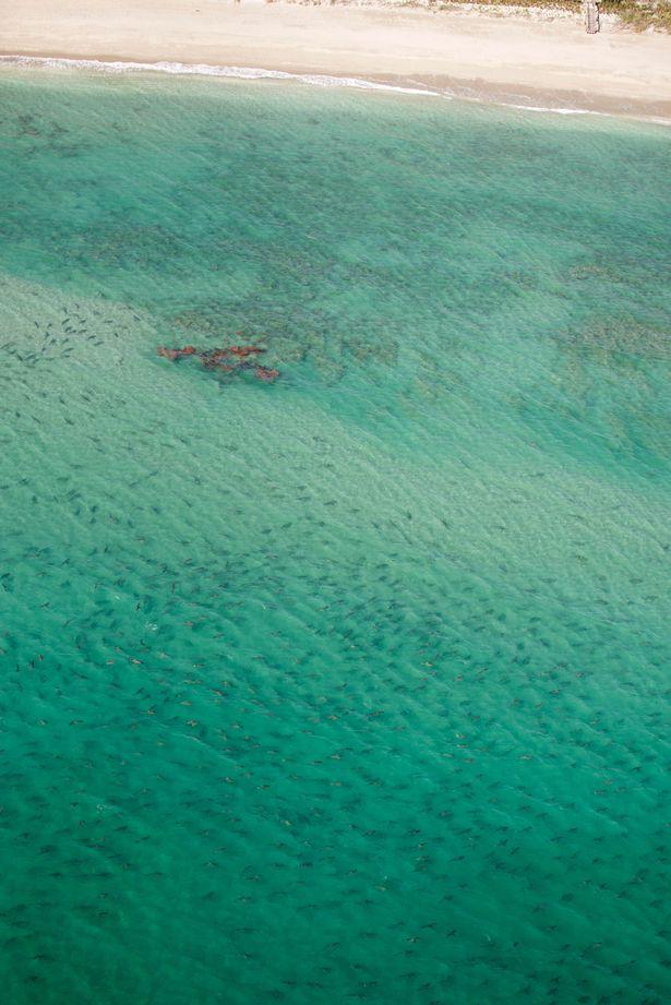 Rợn tóc gáy cảnh hàng nghìn cá mập vây kín bờ biển Mỹ - 3