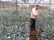 Thị trường - Tiêu dùng - Nông dân xuất khẩu hoa sang Nhật, Hàn