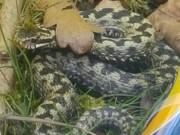 Anh: Đưa con đi chơi, bố bị rắn độc cắn liệt người