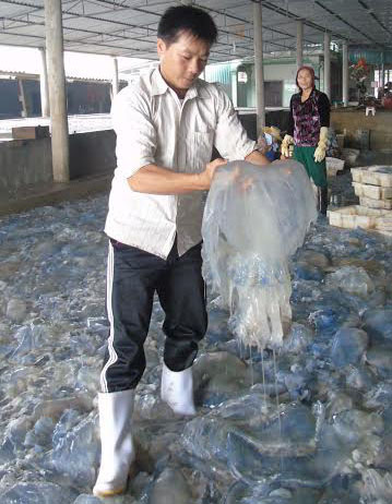 Sứa dày đặc trên biển, ngư dân Nghệ An đi vớt kiếm tiền triệu/ngày - 6