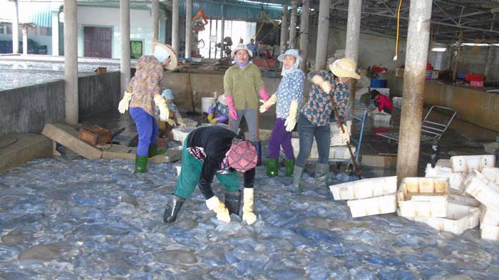 Sứa dày đặc trên biển, ngư dân Nghệ An đi vớt kiếm tiền triệu/ngày - 8