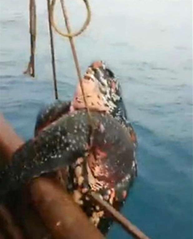 TQ: Đi câu mực, giật mình bắt được rùa hiếm khổng lồ - 2