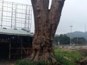 """Tin tức trong ngày - Gặp """"dị nhân"""" từ chối bán cây quý 1 triệu USD, để dành tạo hình Phật"""
