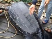 Thế giới - TQ: Đi câu mực, giật mình bắt được rùa hiếm khổng lồ