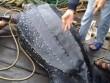 TQ: Đi câu mực, giật mình bắt được rùa hiếm khổng lồ