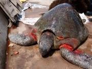 Tin tức trong ngày - Rùa biển quý hiếm nặng hơn 70kg dạt bờ biển Nam Định