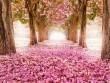 Ngây dại trước mùa hoa anh đào đẹp tuyệt trần ở xứ Phù Tang