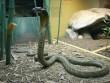 """Ấn Độ: Hoảng sợ vì hổ mang chúa dài 2 mét đến """"xin ở nhờ"""""""
