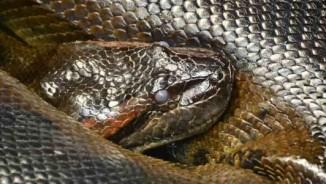 """5 loài """"thủy quái"""" hung tợn nhất trên sông Amazon"""