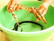 Nông dân miền Tây bắt được lươn vàng óng, có đốm đen hiếm thấy