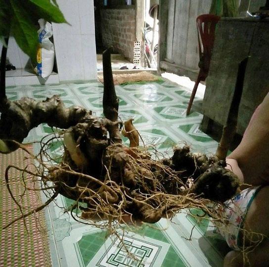 Quảng Nam: Phát hiện củ sâm Ngọc Linh nặng gần 1kg, 500 triệu đồng - 2