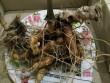 Quảng Nam: Phát hiện củ sâm Ngọc Linh nặng gần 1kg, 500 triệu đồng