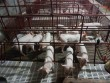 Bộ trưởng: Còn 25.000 đồng/kg, giá lợn Việt Nam đã rẻ nhất thế giới