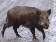 3 khủng bố IS bị... lợn rừng giết hại dã man