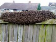 Phi thường - kỳ quặc - Đi chơi về, rùng mình thấy 12.000 con ong bu kín hàng rào