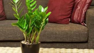 Trồng cây cảnh trong nhà có nguy hiểm?