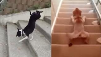 """Clip: Những cách leo cầu thang """"siêu lầy"""" của chó cưng"""