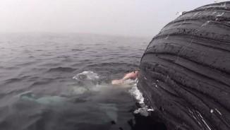 Cá mập mang thai gặm xác cá voi khổng lồ suốt 17 tiếng
