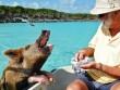 Khám phá thiên đường của lợn hoang ở Bahamas