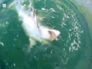 """Video: Ngư dân Anh câu cá mập 2 tạ, """"khủng"""" nhất thế giới"""