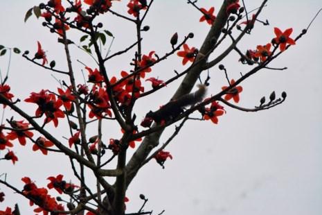 Ngắm hoa gạo đỏ rực trong rừng Cúc Phương - 12