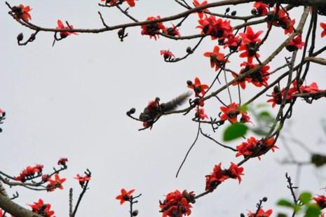 Ngắm hoa gạo đỏ rực trong rừng Cúc Phương - 13