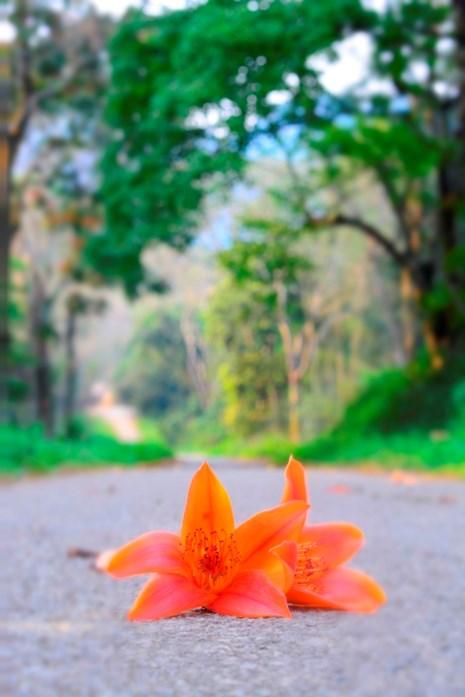 Ngắm hoa gạo đỏ rực trong rừng Cúc Phương - 4