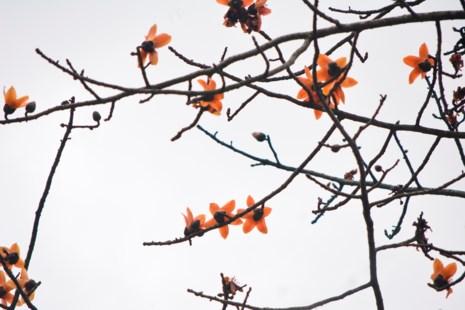 Ngắm hoa gạo đỏ rực trong rừng Cúc Phương - 5