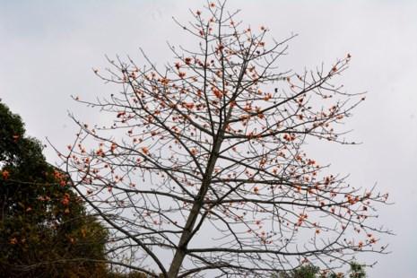Ngắm hoa gạo đỏ rực trong rừng Cúc Phương - 6